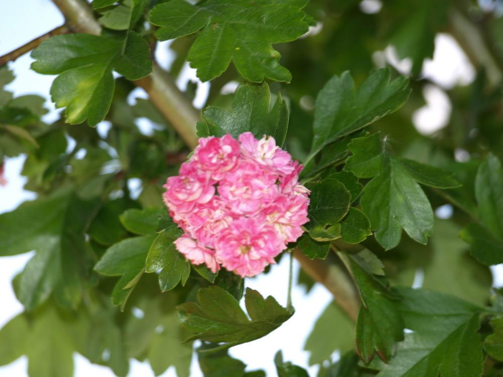 L' Aubépine rose