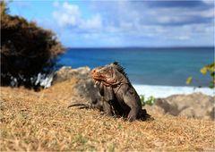 l 'iguane