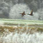 L´ impression du vol des canards... - UND SCHUSS !