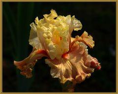 l iris d or....2