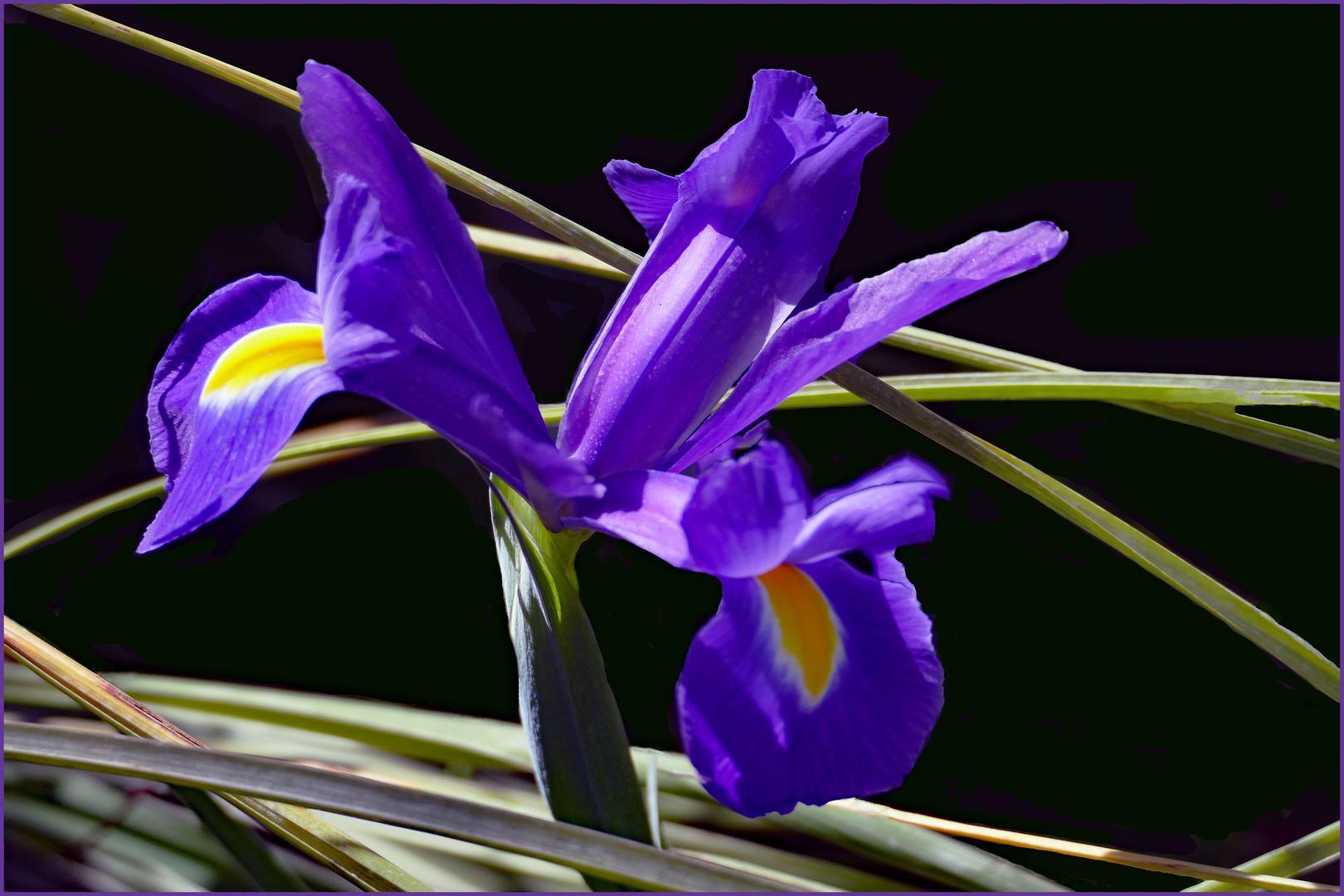 l iris , symbole de florence