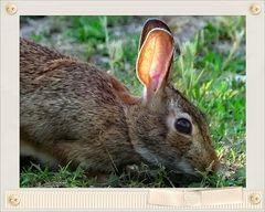 """l"""" oreille d or""""....des lapins"""
