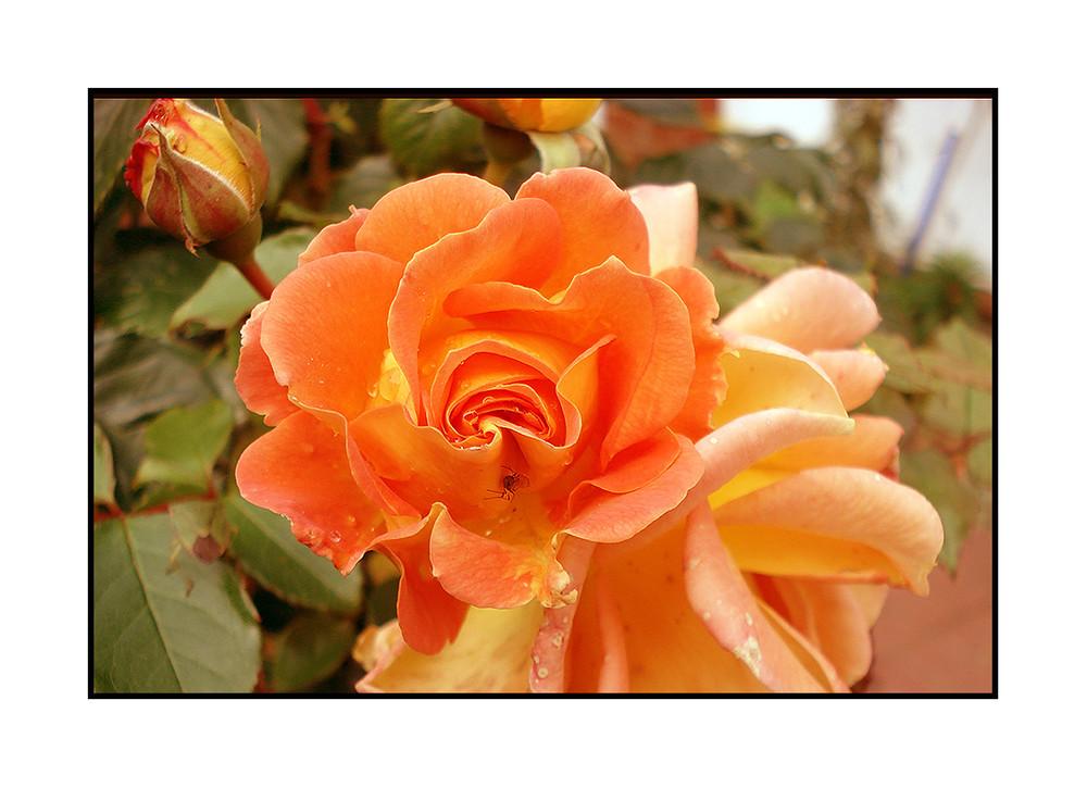 L-Rose