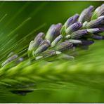 L- wie Lavendel ..