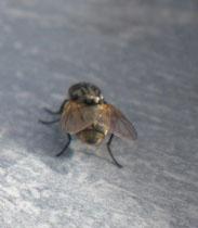 La amiga mosca