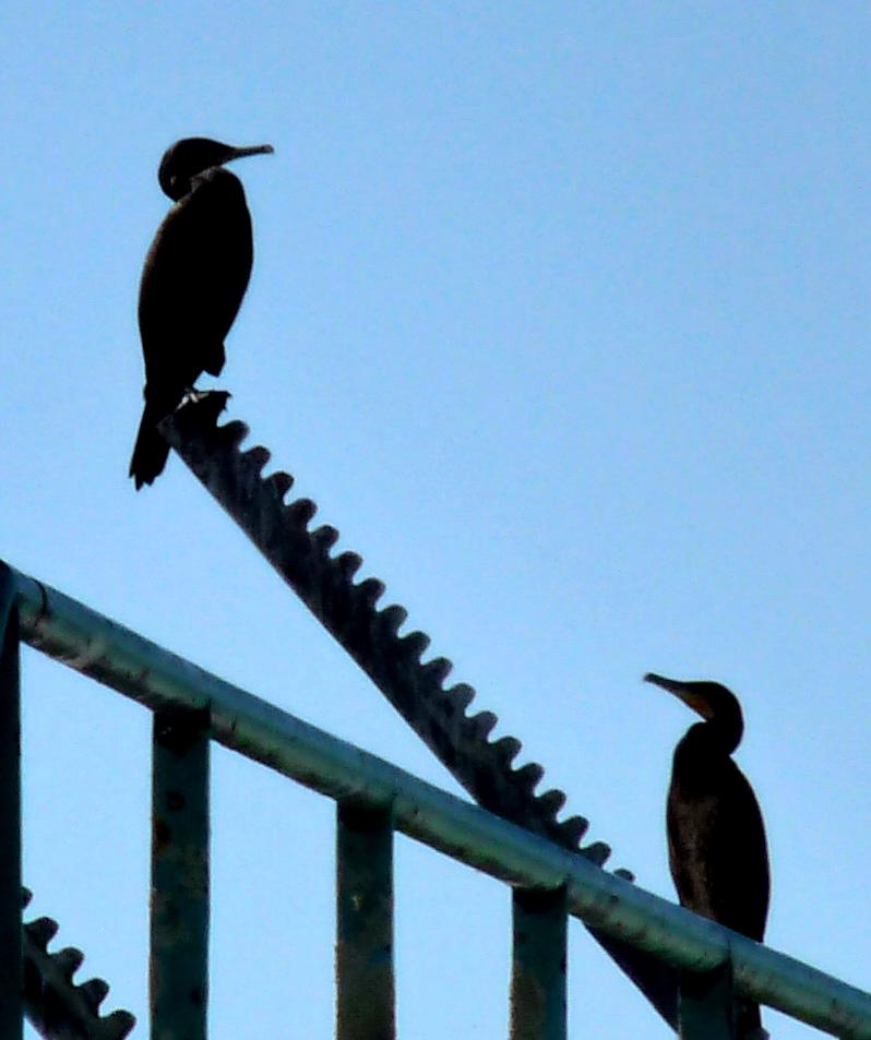 La balançoire aux cormorans.