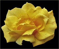 la beauté  d une rose jaune ...