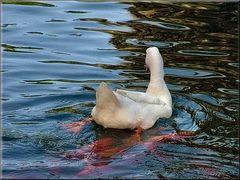 La bianca nuota tra pesci rossi.
