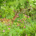 La capriola e i rododendri