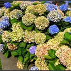 ..la caratteristica delle Azzorre...le ortensie multicolori...
