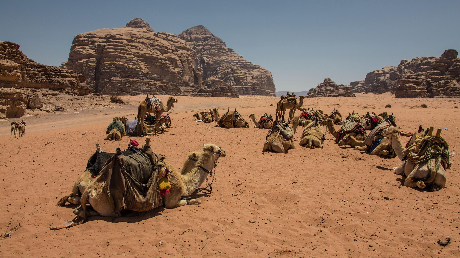 La caravane, prête au départ. Wadi Rum, Jordanie.