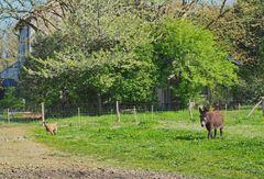 La chèvre et l'âne au pré