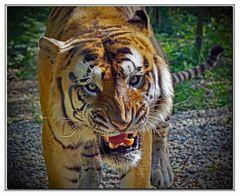 la colère du tigre!