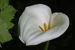 la dame blanche....