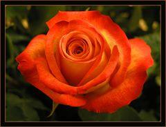 La Dame Rose