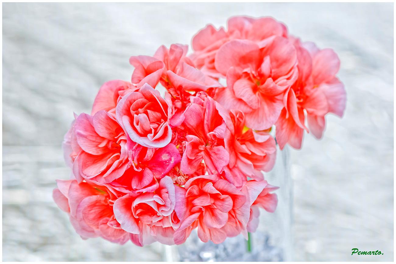 La delicadeza de una flor de Geranio. Dedicada a las mujeres de F.C