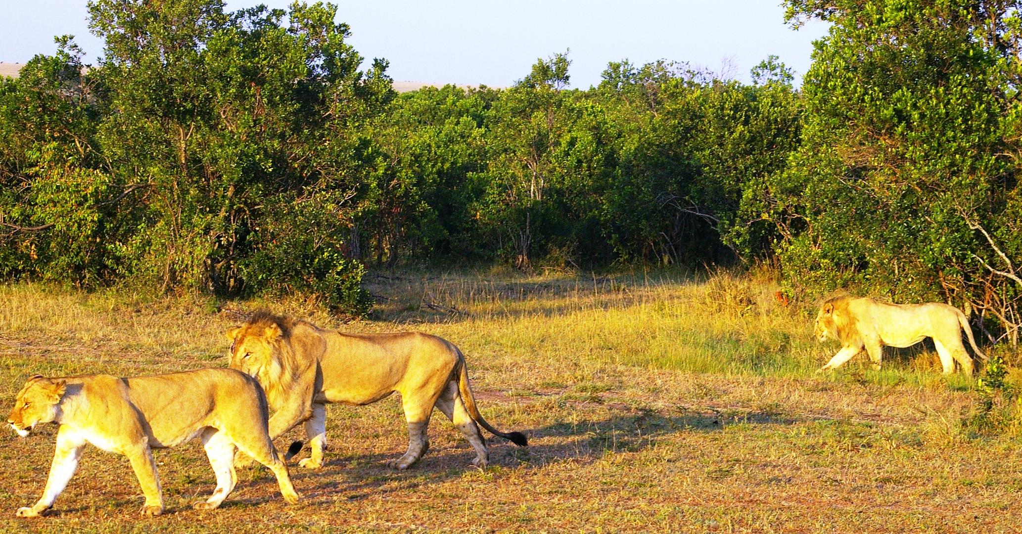 La drague du lion....