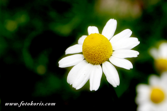 la famosa flor de manzanilla
