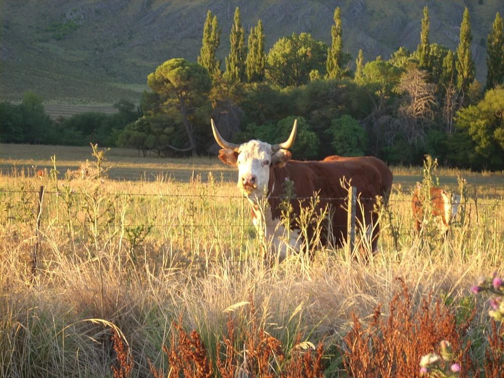 La famosa vaquita argentina disfrutando del sol serrano