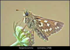 La farfalletta