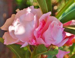 la fleur de l été...