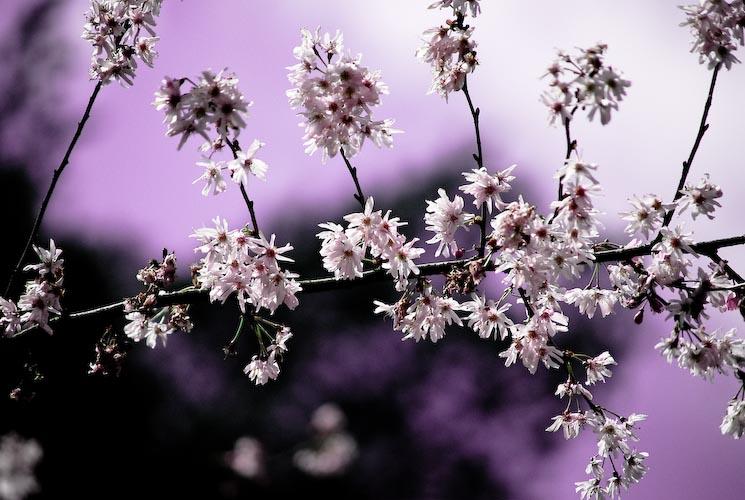 La fleur du cerisier