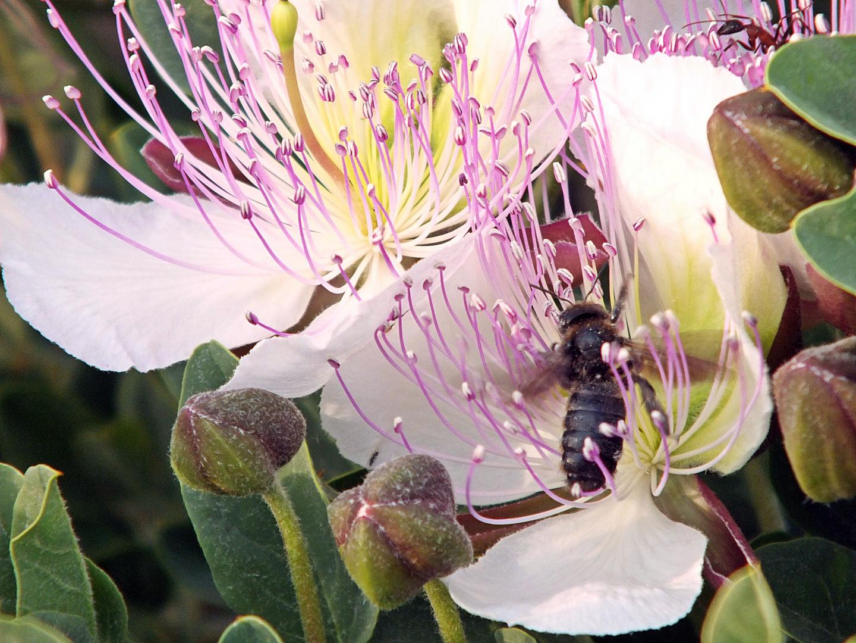 La flor de la alcaparra tiene visita.