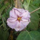 La flor de la berenjena