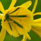 La Flor del Amancae