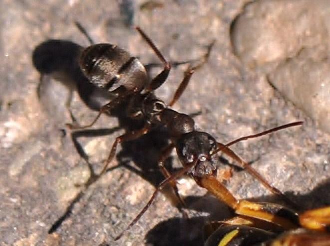 la formica affamata