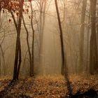 la forêt sous la brume