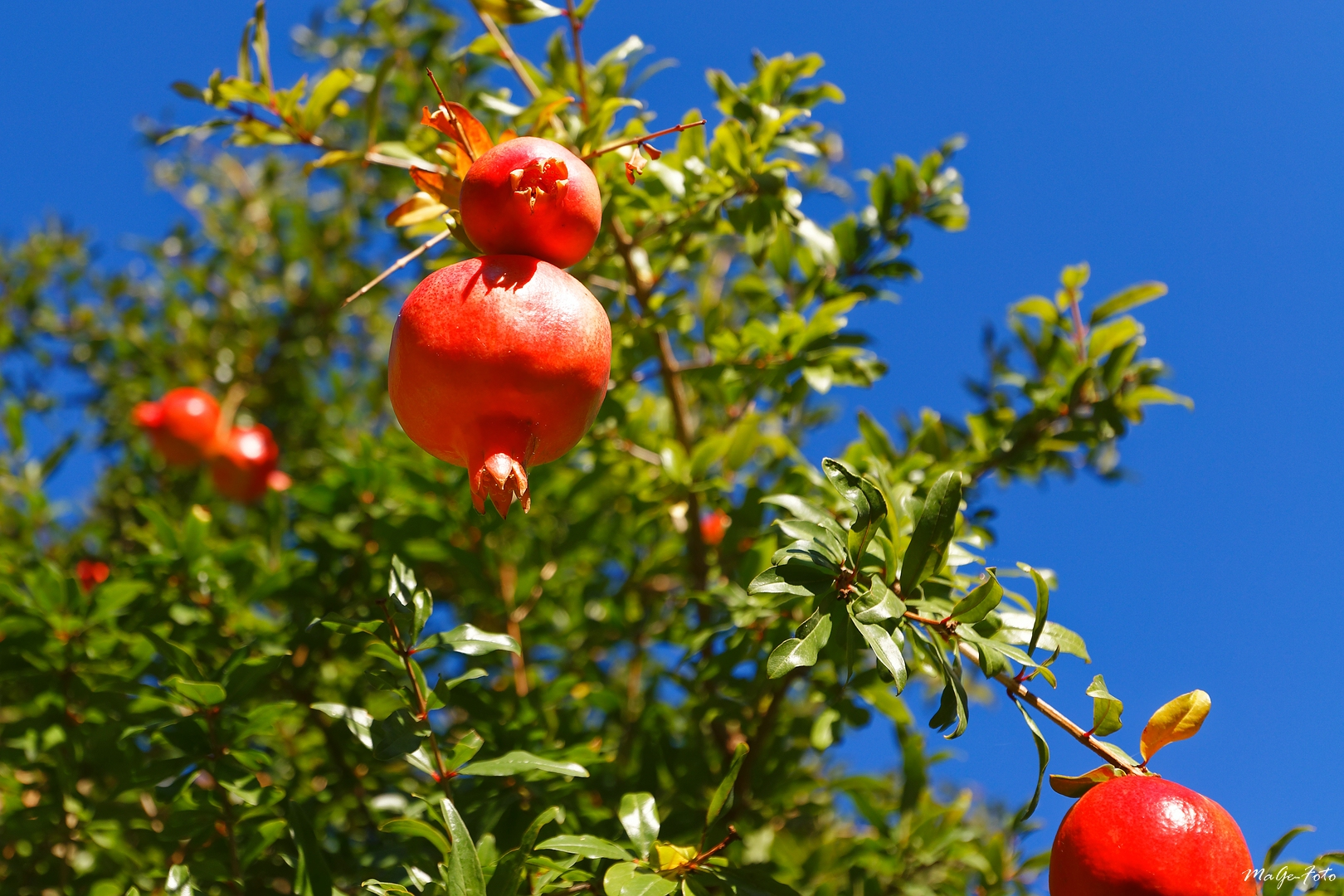 La Grenade / Granatäpfel
