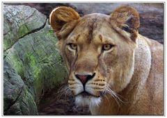 la jeune lionne...