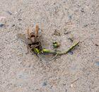 La libellula aggredita