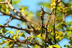 la libellule  dans l'arbre