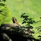 La marmotta del bosco