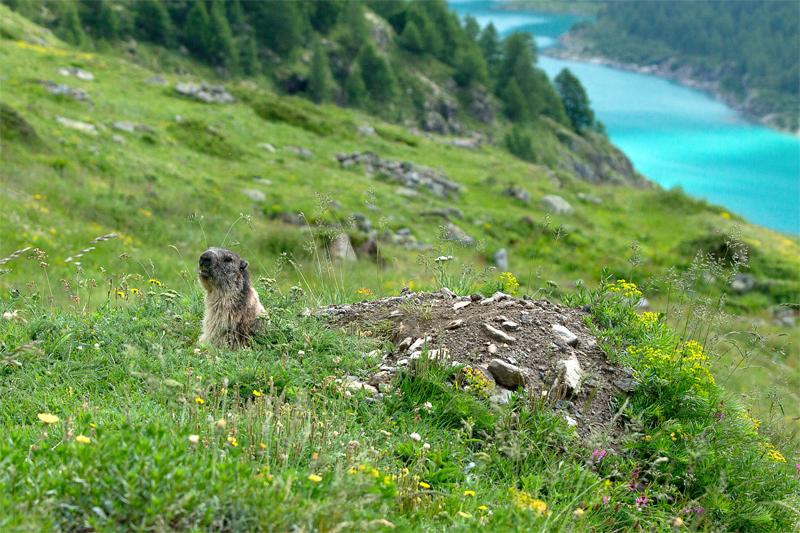 La marmotta del  lago