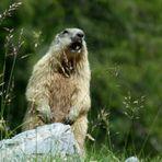* la marmotte *