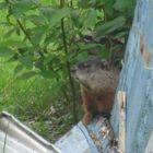 La marmotte à Yancy