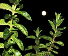 La Menta attira la Luna