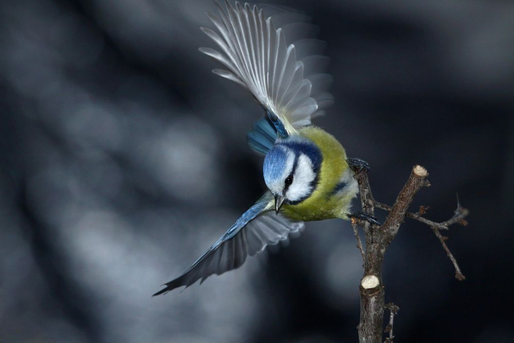la mésange bleue