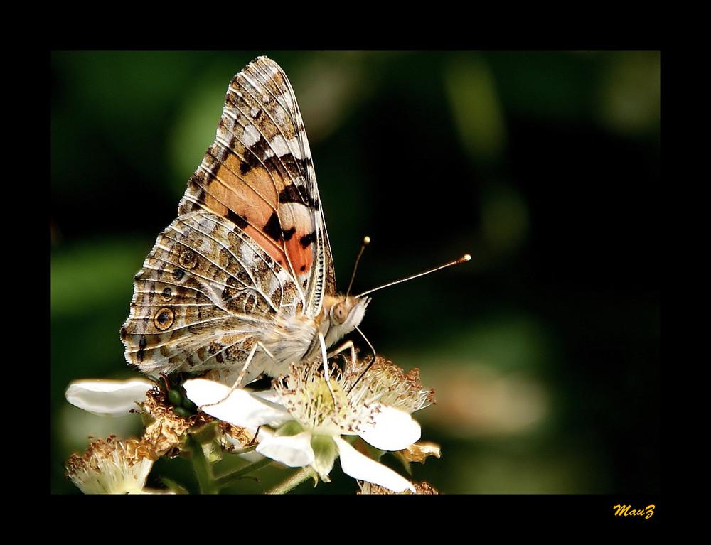 ...La mia prima farfalla del 2009...