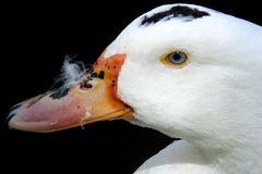 La mirada del pato