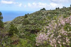 La Palma - Impressionen - Mandelblüte und Retamabüsche - Nr. 20