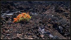 La Palma: Vegetation auf dem Vulkan