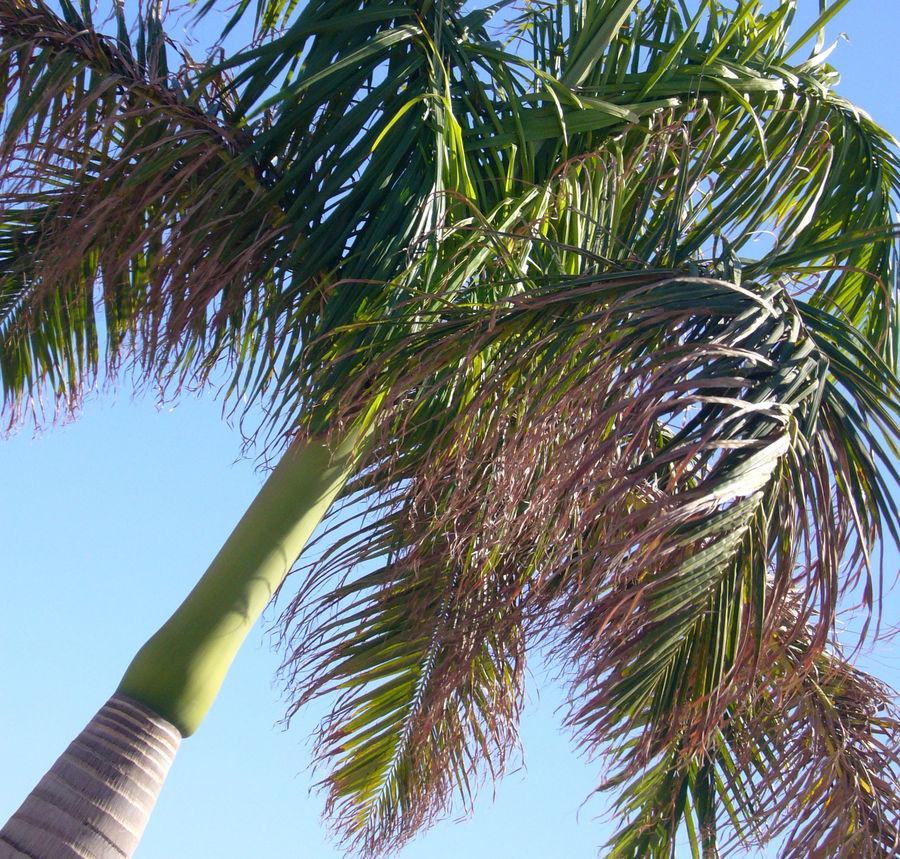 La palmera de Fuerteventura