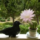 La Paloma de un escultor de Kenia con un cactus en flor, en mi balcón.