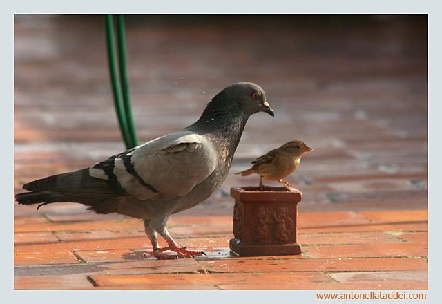 La passerotta e il piccione