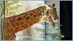 la peau de la girafe....