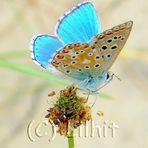La pequeña dama azul